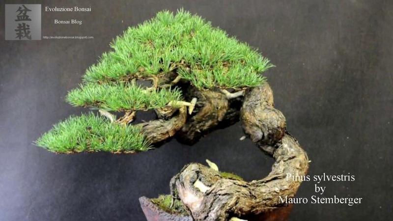 ✅ Pinus sylvestris bonsai by Mauro Stemberger