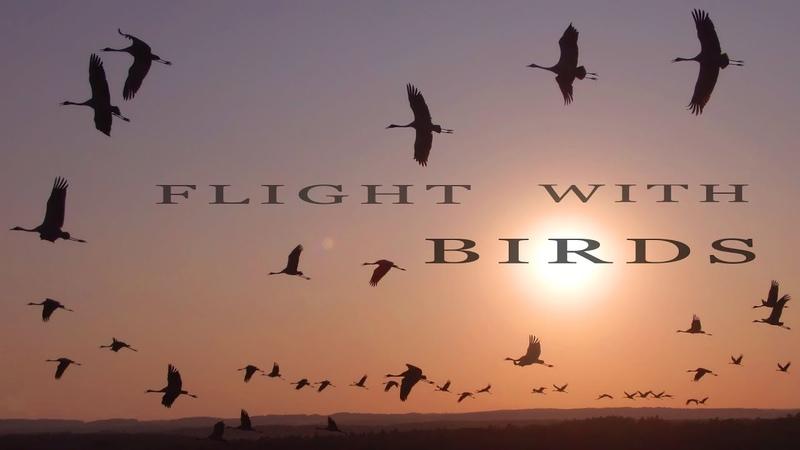 FLIGHT WITH BIRDS. Flying Common Cranes.