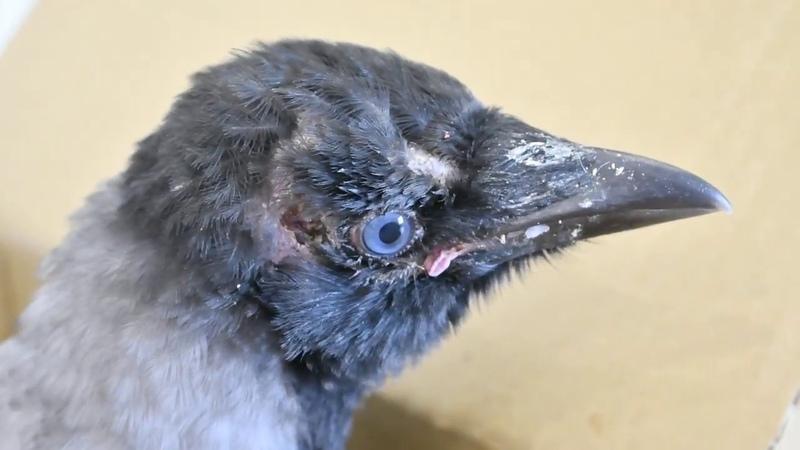Сезон воронят Подбирать или не подбирать Чем кормить и как выпустить слётка вороны
