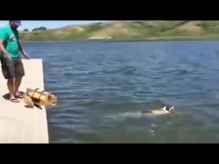 Corgi belly flop compilation - cute funny dogs
