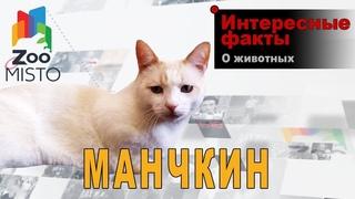 Манчкин - Интересные факты о породе  | Кошка породы манчкин