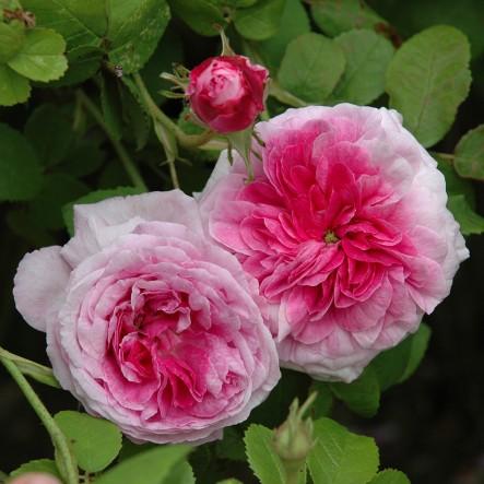 роза Empress Josephine