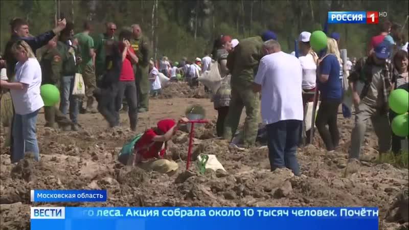 Вести Москва Почти полтора миллиона деревьев посадили в Подмосковье в рамках акции Лес Победы