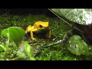 Golden_poison_frog,
