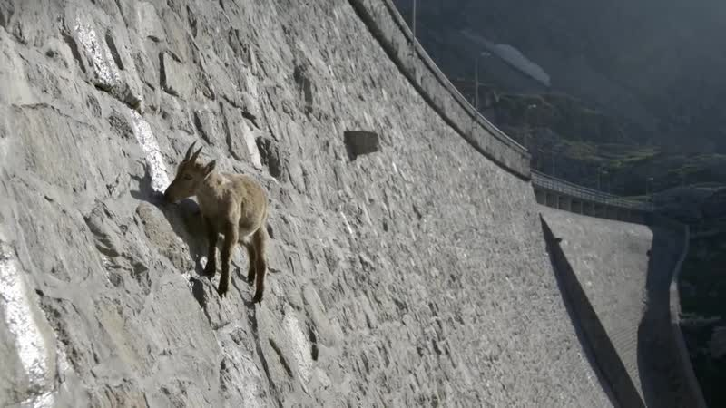 The incredible ibex defies gravity and climbs a dam