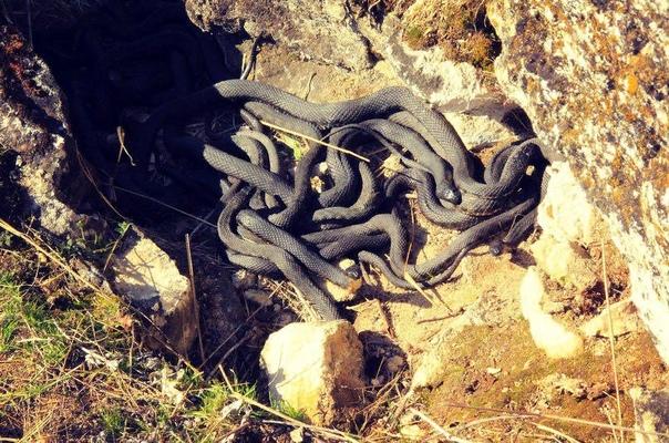 Где зимуют змеи и что будет если влезть в их логово