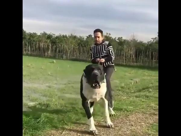 Agressive sarabi dog