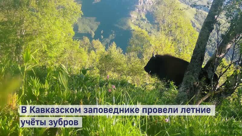 Популяция зубров в Кавказском заповеднике достигла предела