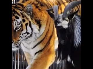Умер тот самый козёл тимур — друг тигра амура