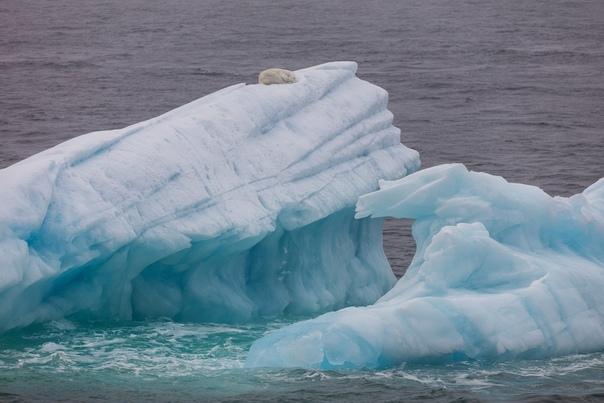 «Мы плывем на льдине, как на бригантине...» Белый медведь спит на вершине айсберга, дрейфующего по Ледовитому океану. И вам доброй ночи. Снимал Николай Гернет: