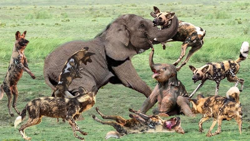Chó hoang khét tiếng tấn công con mồi Sư tử còn sợ - 1 mình voi mẹ đấu 20 chó săn Ai Thắng