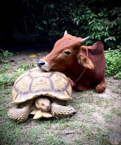 Трогательная дружба коровы и черепахи. В питомник для животных WFFT корова Саймон и черепаха Леонард попали из-за превратности судьбы. Леонард в 2013 году, когда был закрыт зоопарк, где он жил,