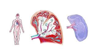 Познавательная анатомия. Селезенка