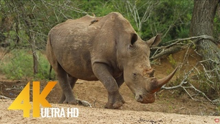 4K African Animals - Rhinos and Hippos - 2 HOUR African Wildlife Video