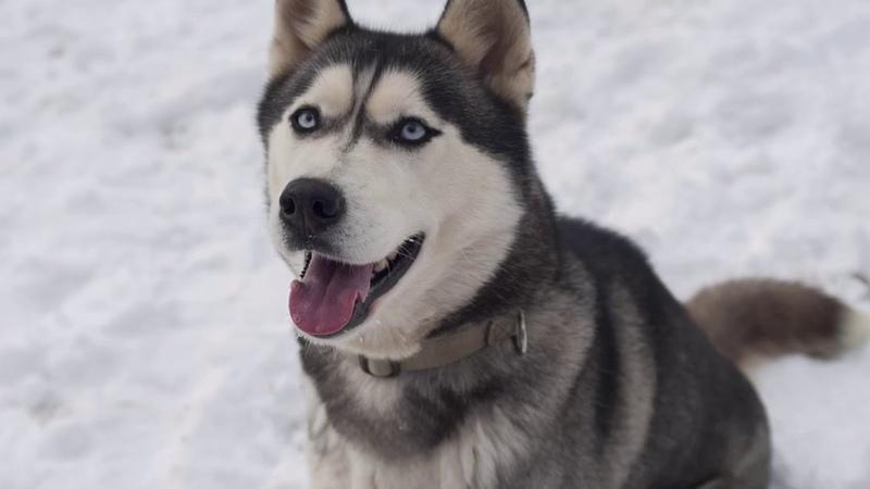 Husky siberiano razas de perros