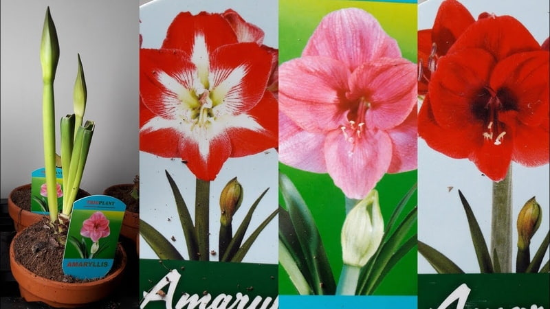 Гиппеаструмы 3-х расцветок