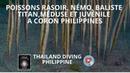 Poissons rasoir,némo, baliste titan,méduse et juvénile a Coron Philippines Thailand Diving plongée
