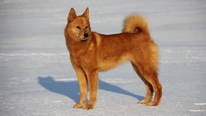 В России утвердили новую породу собак. Карельская лайка
