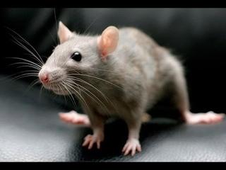 Вся правда о Крысах   Подземный разум  Секретные территории