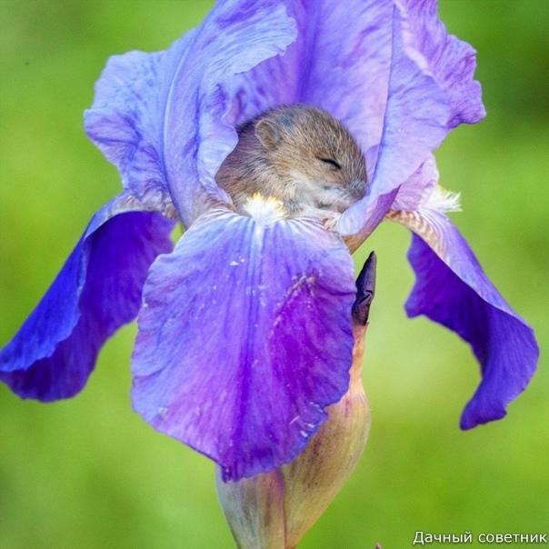 Мышонок полевки спит в ирисе