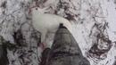 Охота с Русской гончей на зайца 16 01 20