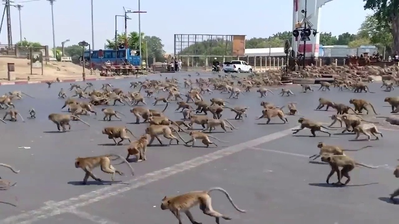 Crazy Thailand Monkey Riots