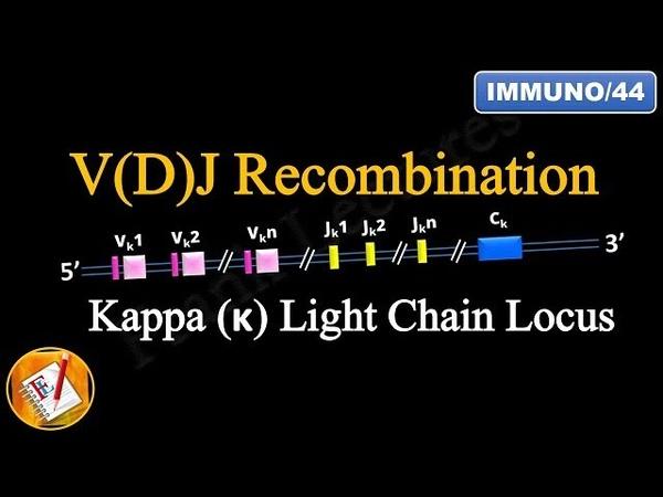 VDJ Recombination (PART 1) - Ig Light chain locus (FL-Immuno44)