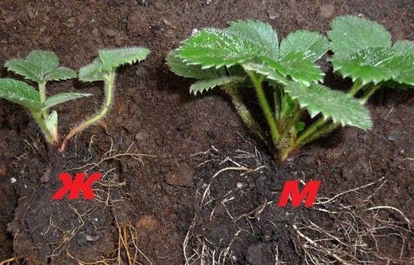 Высаживаю женские розетки клубники и получаю стабильно высокий урожай