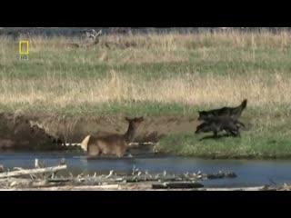 Мама олененка отвлекает волков на себя