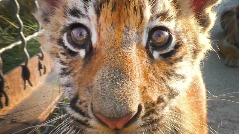 Как сорока Фросиных тигрят дразнила. Тайган Magpie teases tiger cubs. Taigan