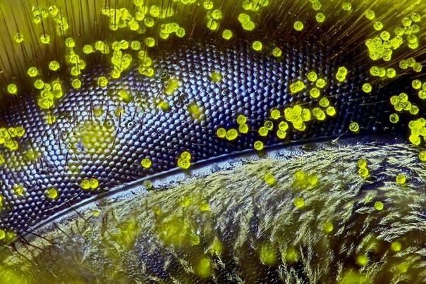 Глаз пчелы, покрытый пыльцой одуванчика под микроскопом, 120х.