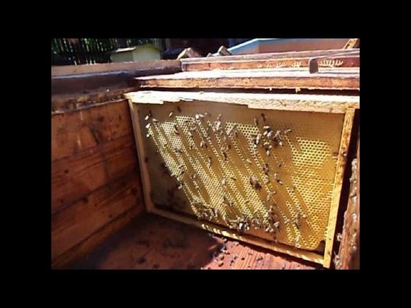 Пчелы трутовки Исправляем семью с пчелой трутовкой