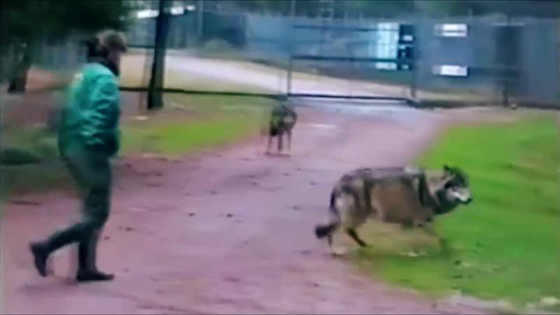 Страшнее Бабы - Зверя Нет!   Женщина против Волка