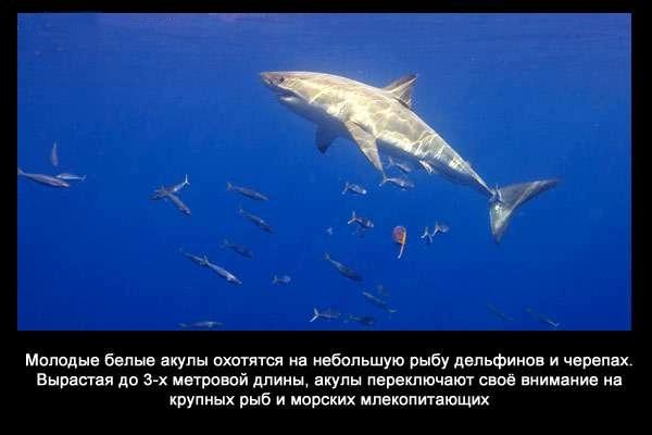 валтея - Интересные факты о акулах / Хищники морей.(Видео. Фото) 5TQEqOF1zmg