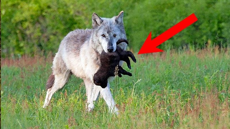 Волчица убегая от охотников подкинула своего волчонка старому фермеру