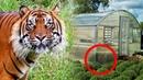 Тигрица бродила плакала и что то искала вокруг китайских теплиц в приморье