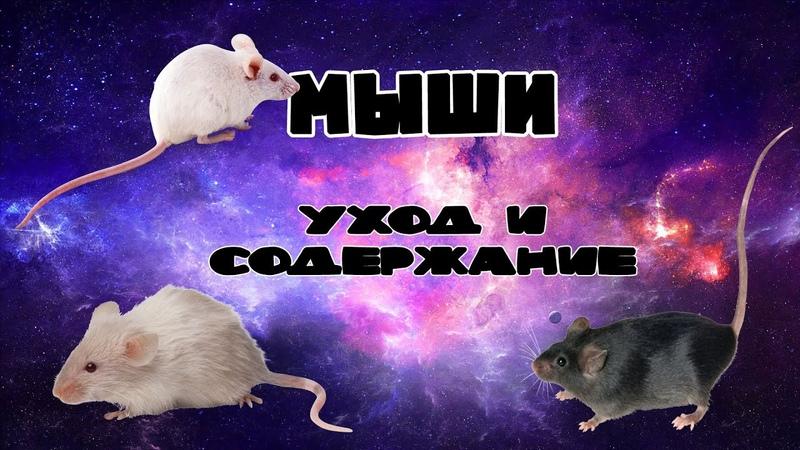 Декоративные мыши: основные моменты ухода и содержания