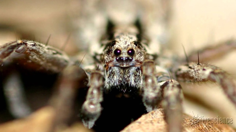 Spider's Creepy Mating 'Purr' Recorded by Researchers Video