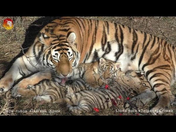 Тигрица Василиса с малышами. Тайган. Tigress Vasilisa with cubs. Taigan.