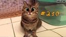 Смешные коты и котики, приколы про котов до слез – Смешные кошки – Funny Cats 2019