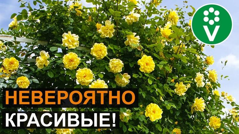 ТОП 7 сортов плетистых роз которые преобразят любой сад