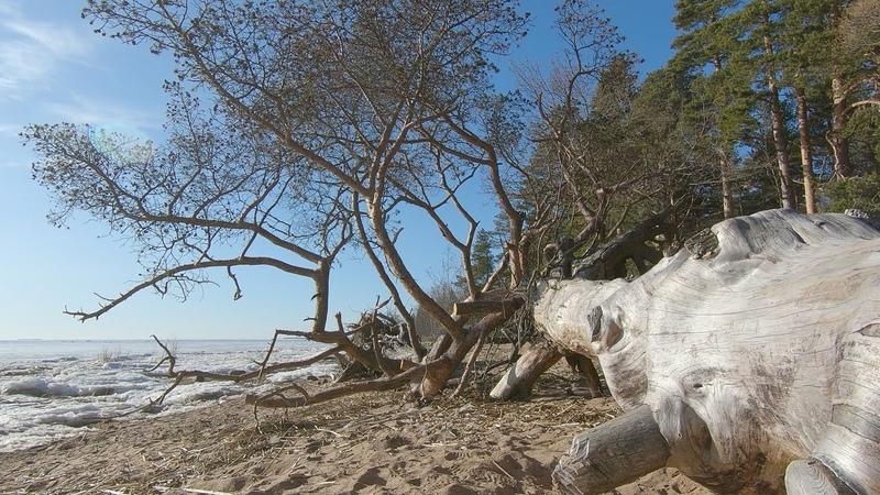 Красивая природа ранней весной Прогулка по берегу Финского залива в солнечный мартовский день