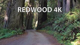 Redwood National Park 4K - Scenic Drive - California