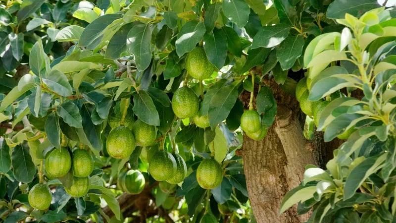 Происходит быстрое омоложение магическая музыка авокадо