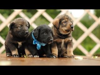 Маленькая собака просит выпустить овчарку из вольера // Немецкая овчарка и дворняжка
