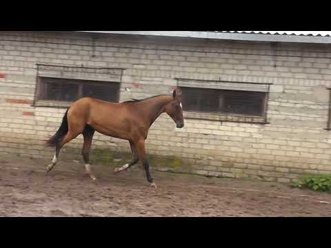 Shahada Shael (Alvan - Sharida Shael), 2-year-old akhalteke filly, ахалтекинская кобыла