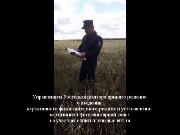 В Республике Башкортостан обнаружены очаги горчака ползучего