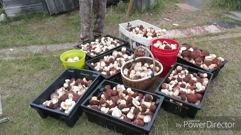 белый гриб боровик Караул Столько много грибов я ещё не видел сборка сушка грибов