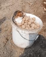 id_77842 Очень странная картошка 😁  #юмор@bon