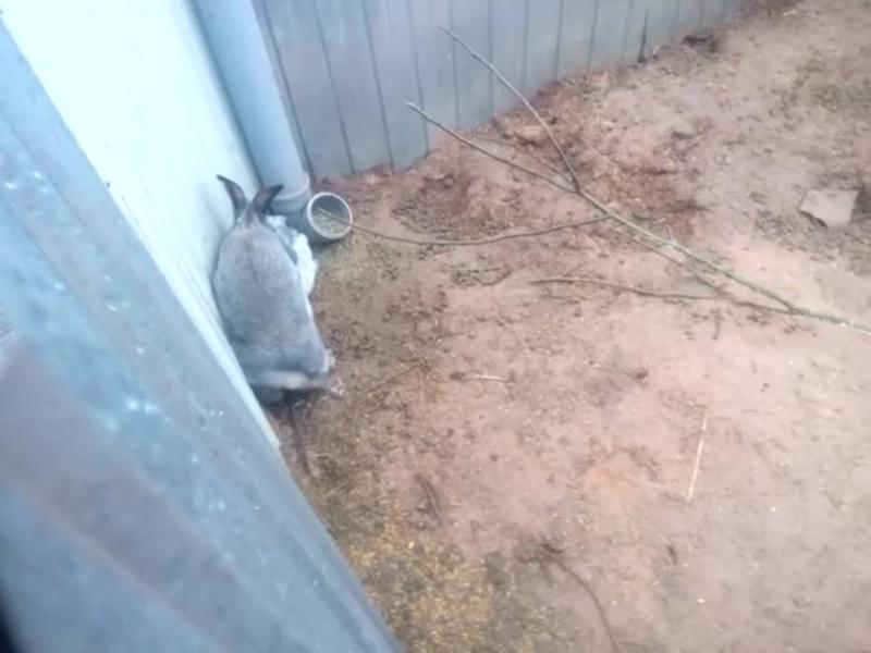 Контрольная случка крольчихи ПС в загородке. Часть 2
